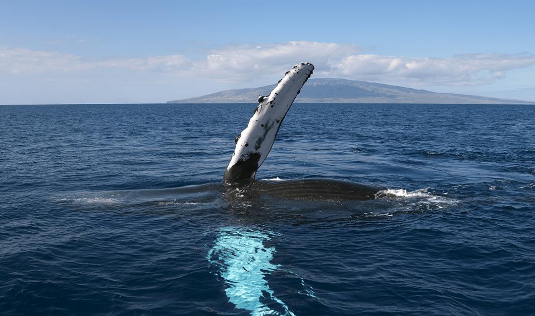 maui whale wave