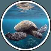 molokini turtle