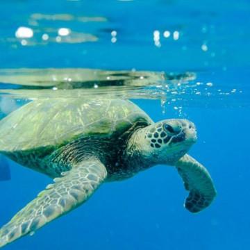 turtle snorkeling la perouse