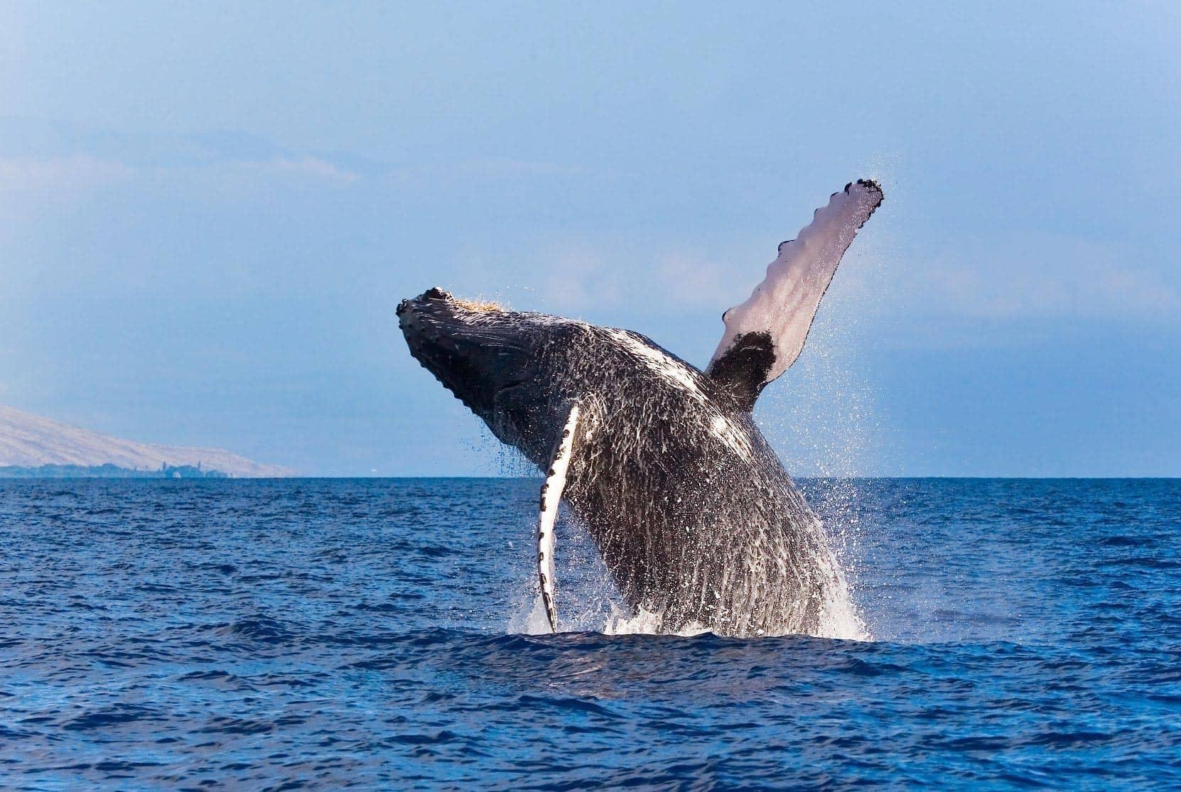 whale breaching maui